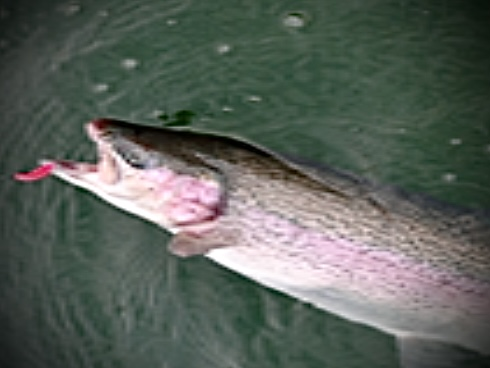 IRON TROUT Maggy 1,8g